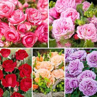 Суперпредложение! Комплект роз флорибунд Фламинго из 5 сортов изображение 8