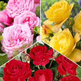 Суперпредложение! Комплект роз флорибунд Триколор из 3 сортов изображение 7