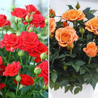 Суперпредложение! Комплект роз спрей Дуо из 2 сортов изображение 5