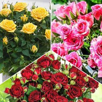 Суперпредложение! Комплект роз спрей Триколор из 3 сортов изображение 7