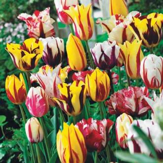 Суперпредложение! Комплект тюльпанов Грация изображение 3