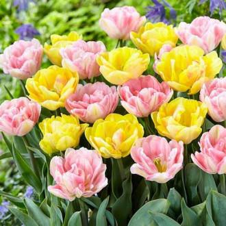 Суперпредложение! Комплект тюльпанов из 2-х сортов изображение 8