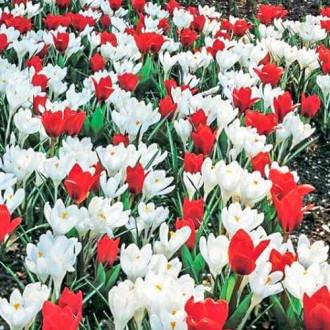Суперпредложение! Комплект тюльпанов, крокусов из 2-х сортов изображение 8