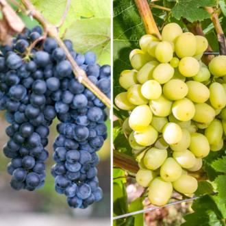 Суперпредложение! Комплект винограда Гиганты из 2-х сортов изображение 5