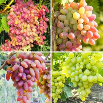 Суперпредложение! Комплект винограда Суперранний из 4 сортов изображение 5