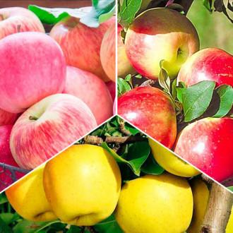 Суперпредложение! Комплект Яблочный сад из 3 саженцев: изображение 4