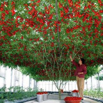 Томат Чудо дерево F1 Уральский дачник изображение 6