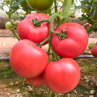 Томат Малиновый мед F1 Premium Seeds изображение 4