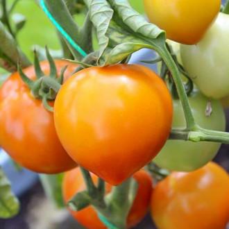 Томат Медовые купола F1 Premium Seeds изображение 5