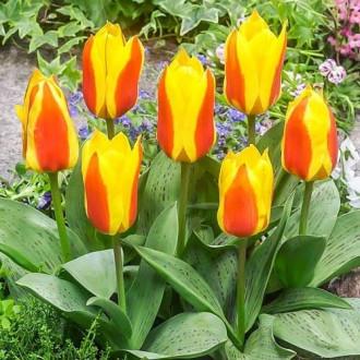 Тюльпан Грейга Бон Бини изображение 6