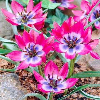 Тюльпан ботанический Литтл Бьюти изображение 5
