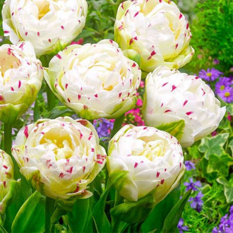 Тюльпан махровый Дэнс Лайн изображение 8