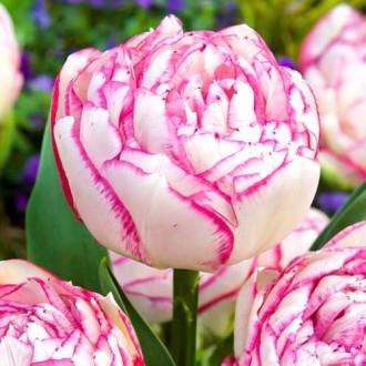 Тюльпан махровый Дабл Тач изображение 8