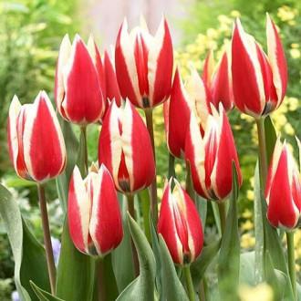 Тюльпан Триумф Спринг Сюрпрайз изображение 3