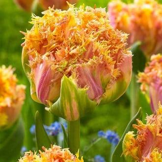 Тюльпан бахромчатый Эсприт изображение 4