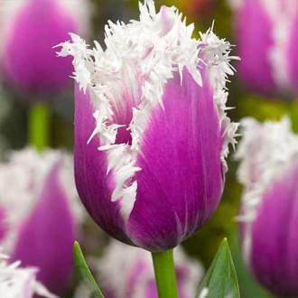 Тюльпан бахромчатый Камминс изображение 5