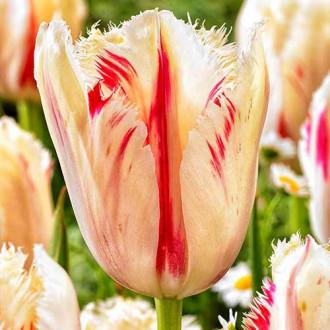 Тюльпан бахромчатый Карусель изображение 8