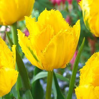 Тюльпан бахромчатый Криспи Мери изображение 5