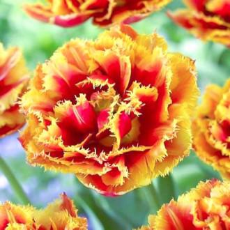 Тюльпан бахромчатый Криспион Бьюти изображение 1