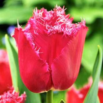 Тюльпан бахромчатый Мустанг изображение 2
