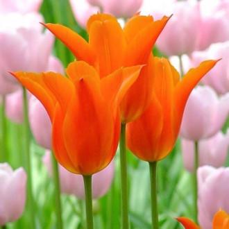 Тюльпан лилиецветный Балерина изображение 8
