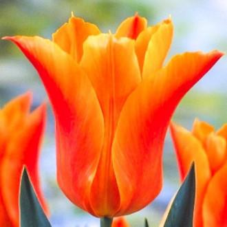 Тюльпан лилиецветный Баллада Оранж изображение 4
