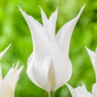 Тюльпан лилиецветный Баллада Вайт изображение 1
