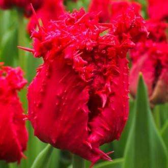 Тюльпан бахромчатый Барбадос изображение 2