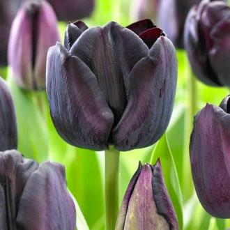Тюльпан Триумф Блэк Джек изображение 6