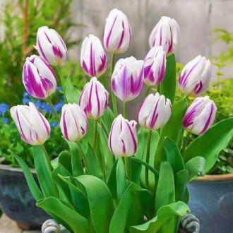 Тюльпан Триумф Блю Флэминг, микс изображение 6