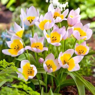 Тюльпан ботанический Лилак Вандер изображение 8
