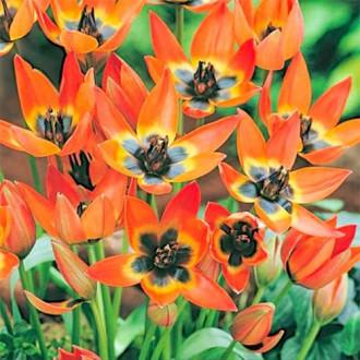 Тюльпан ботанический Литтл Принцесс изображение 7