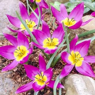Тюльпан ботанический Одалиск изображение 6