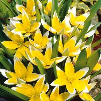 Тюльпан ботанический Тарда изображение 1