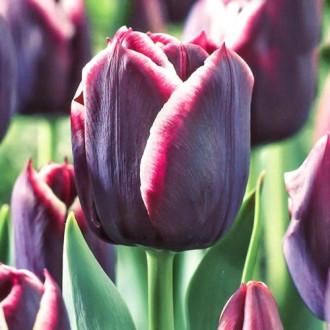 Тюльпан Триумф Джекпот изображение 4