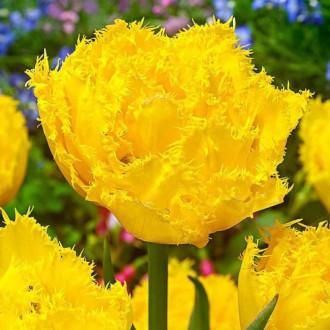 Тюльпан бахромчатый Экзотик Сан изображение 5