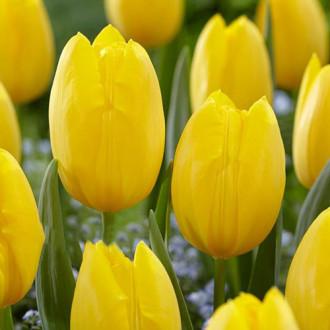 Тюльпан многоцветковый Фэтс Домино изображение 2