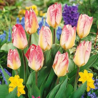Тюльпан Фостера Флэминг Пуриссима изображение 1