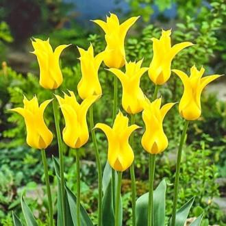 Тюльпан лилиецветный Флешбек изображение 8