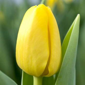 Тюльпан Фостера Истер Мун изображение 2