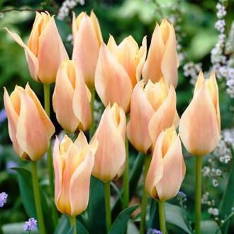 Тюльпан Грейга Фур Элиз изображение 2