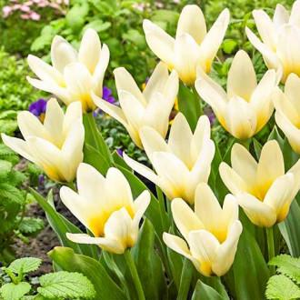 Тюльпан Грейга Концерто изображение 4