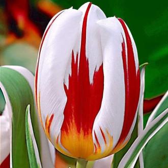 Тюльпан Триумф Хеппи Дженерейшн изображение 8