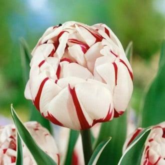 Тюльпан махровый Карнавал де Найс изображение 6