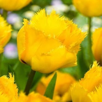 Тюльпан бахромчатый Кристал Стар изображение 7
