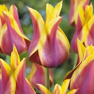Тюльпан лилиецветный Баллада Дрим изображение 7