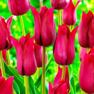Тюльпан лилиецветный Лилироза изображение 1