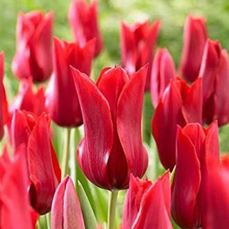 Тюльпан лилиецветный Ред Шайн изображение 4