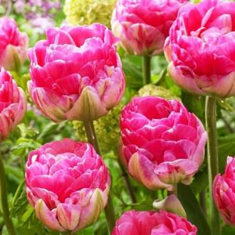 Тюльпан махровый Ап Пинк изображение 2