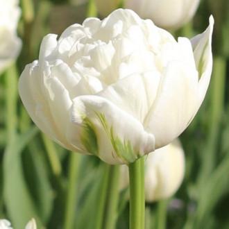 Тюльпан махровый Ап Вайт изображение 3
